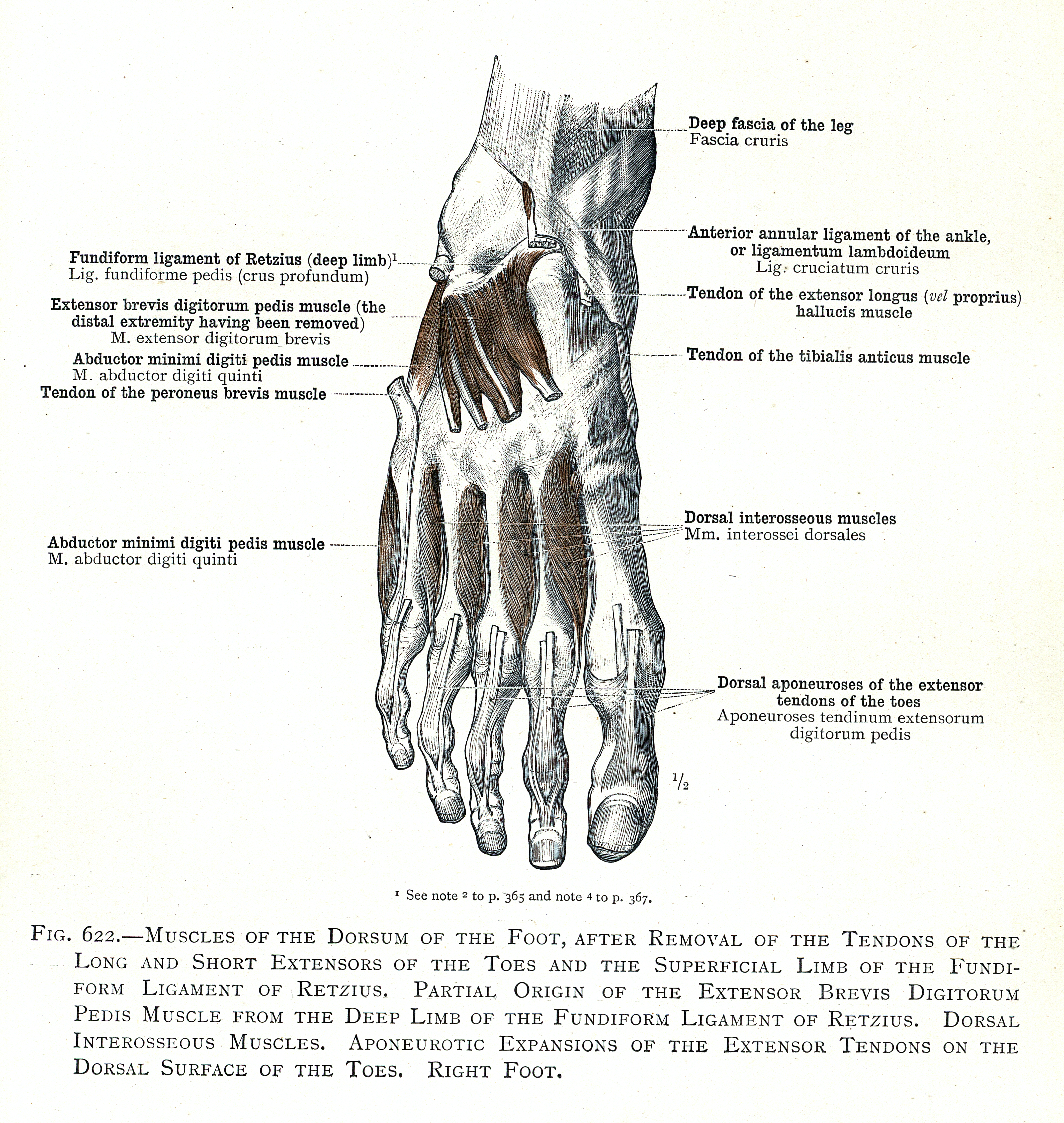 Outstanding Ligaments Of The Foot Component - Human Anatomy Images ...