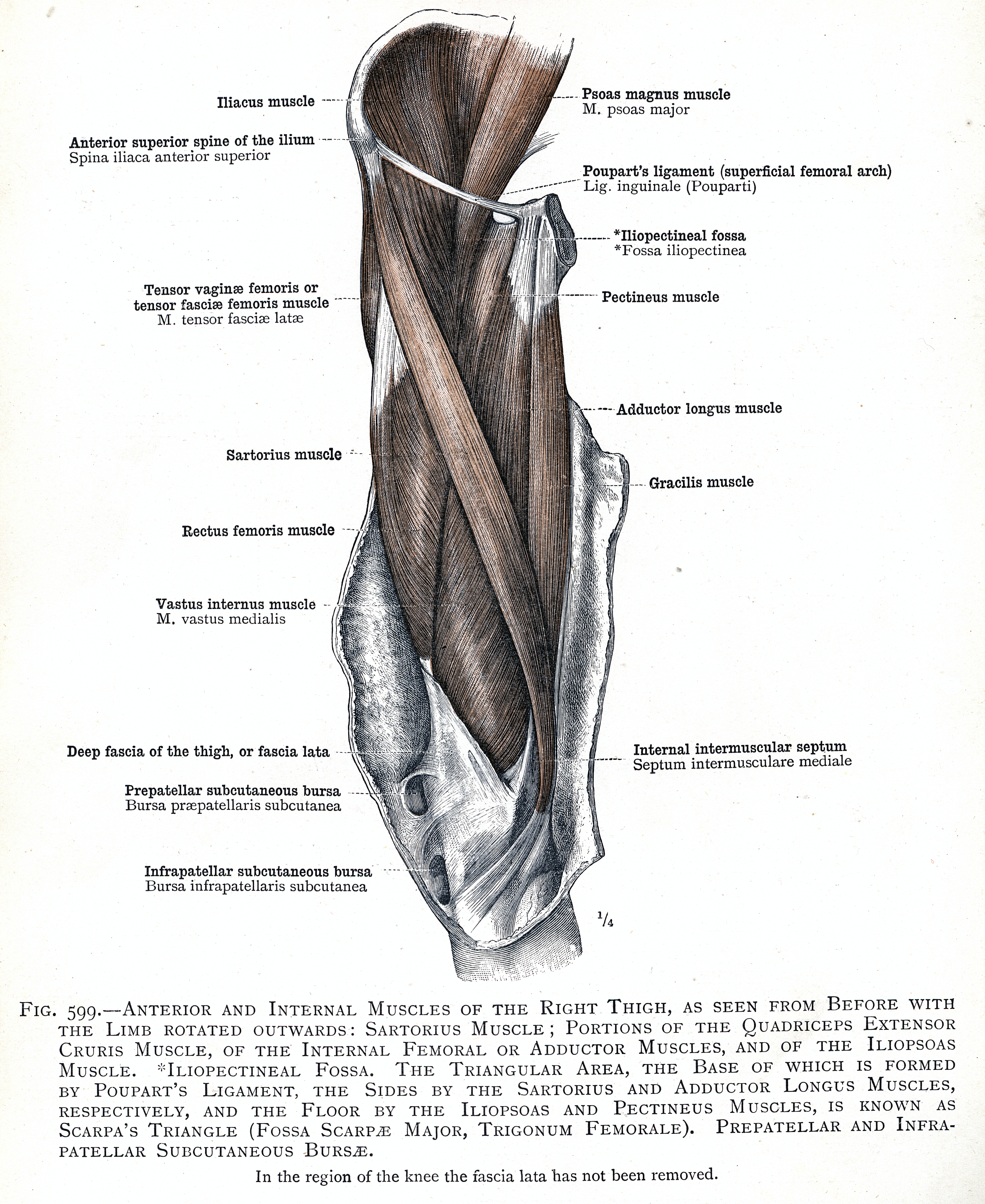 599. Anterior and internal muscles of the right thigh: sartorius ...