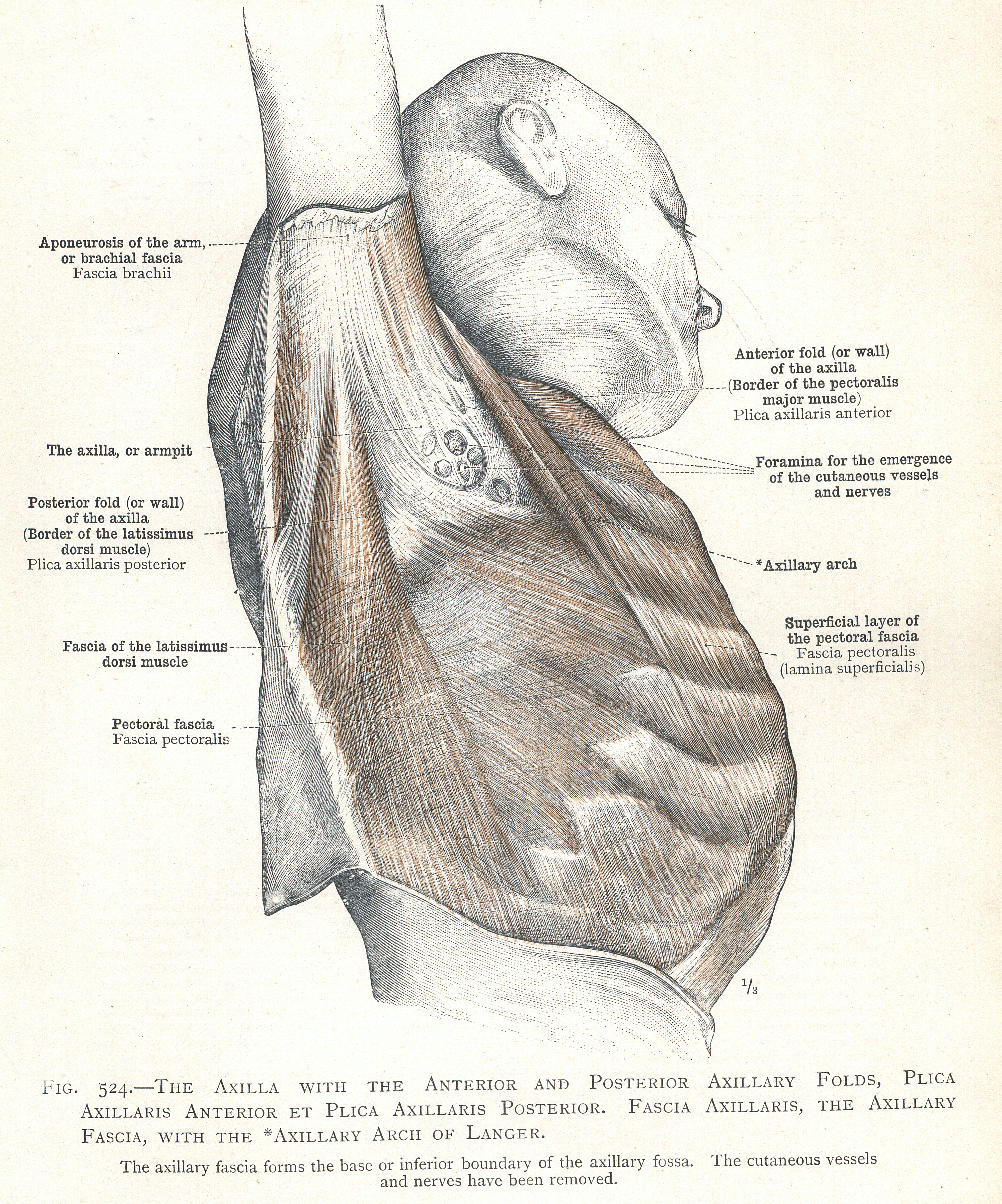 524. The axilla with the anterior and posterior axillary folds ...