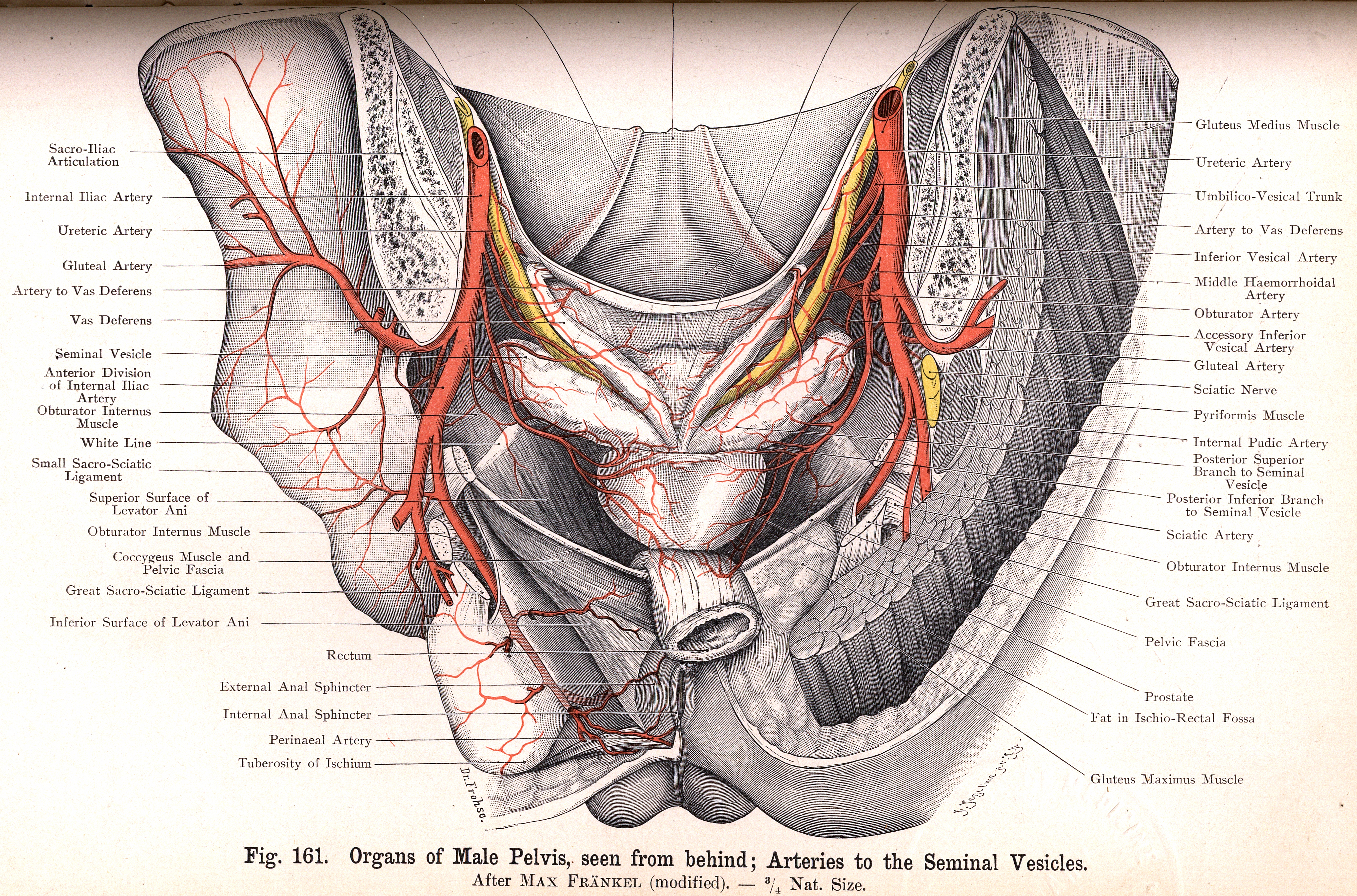 161. Male Pelvic Organs, from behind. Arteries to Seminal Vesicles