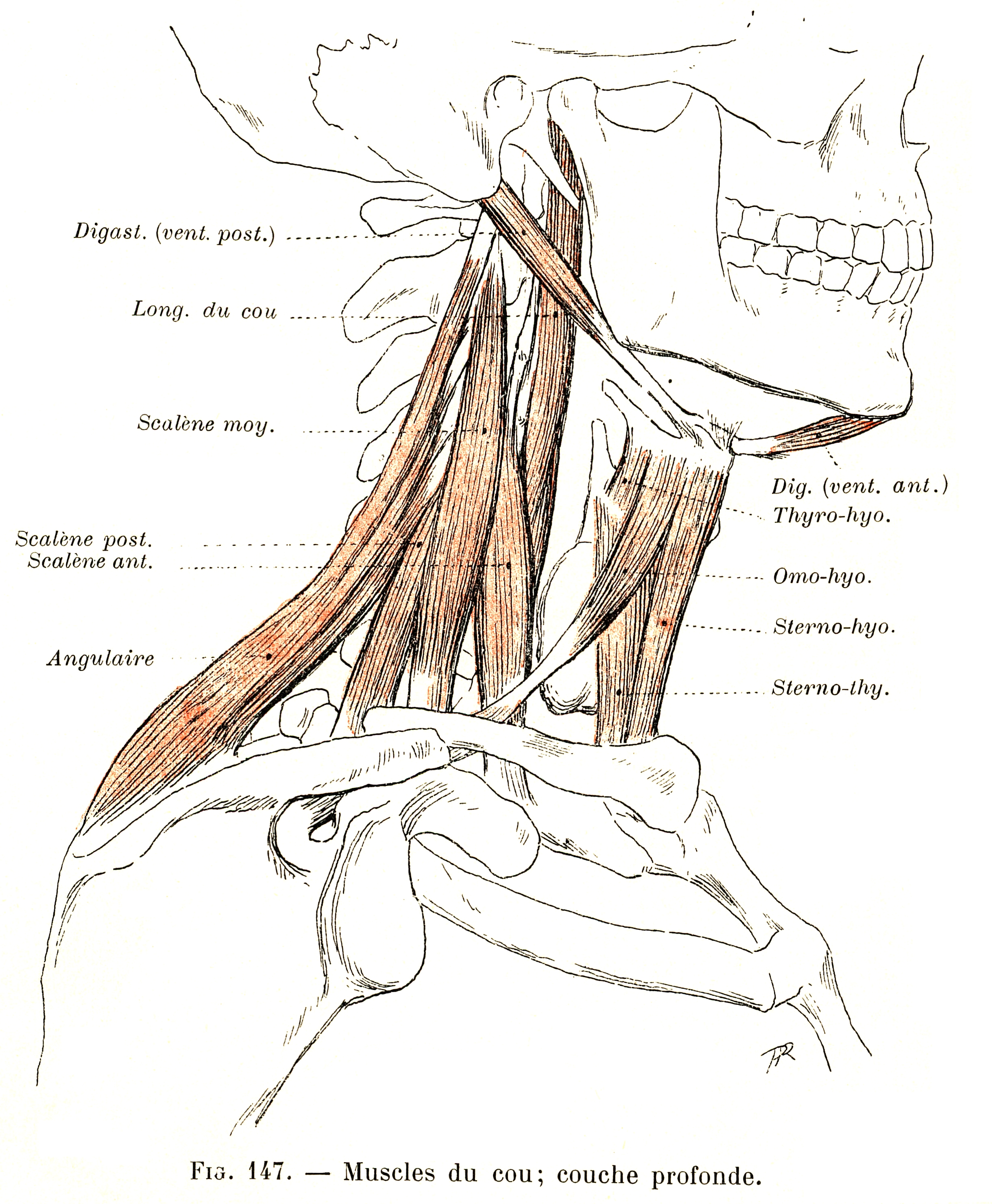147 Neck Muscles Deep Layer